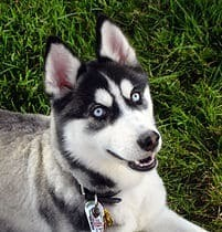 husky colors and markings